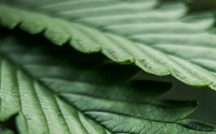 banner image of cannabis leaves